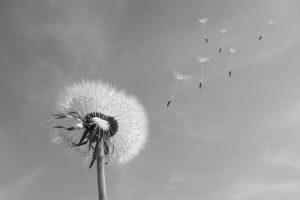 dandelion-wind-blown-seeds-333093